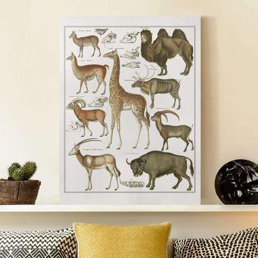 Leinwandbild - Vintage Lehrtafel Giraffe, Kamel und Lama - Hochformat 4:3