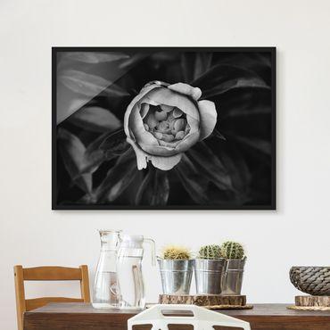 Bild mit Rahmen - Pfingstrosenblüte vor Blättern Schwarz Weiß - Querformat 3:4