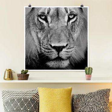 Poster - Alter Löwe - Quadrat 1:1