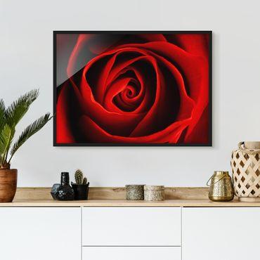 Bild mit Rahmen - Liebliche Rose - Querformat 3:4