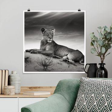 Poster - Resting Lion - Quadrat 1:1