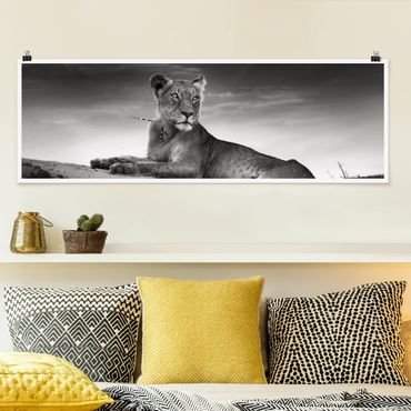 Poster - Resting Lion - Panorama Querformat
