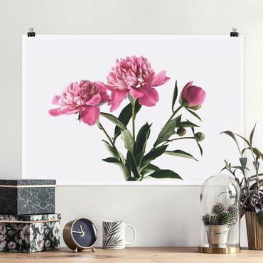 Poster - Blüten und Knospen Pink auf Weiß - Querformat 2:3