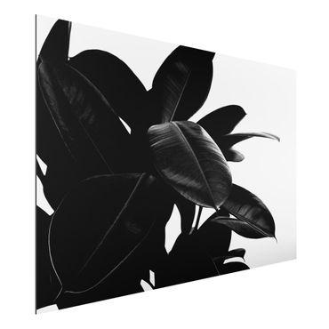 Aluminium Print - Gummibaum Blätter Schwarz Weiß - Querformat 2:3