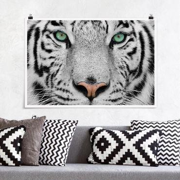 Poster - Weißer Tiger - Querformat 2:3