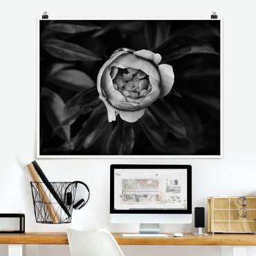 Poster - Pfingstrosenblüte vor Blättern Schwarz Weiß - Querformat 3:4