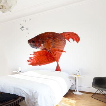 Fototapete Siamesischer Kampffisch