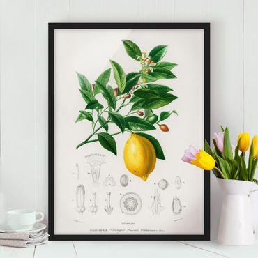Bild mit Rahmen - Botanik Vintage Illustration Zitrone - Hochformat 4:3