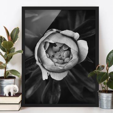 Bild mit Rahmen - Pfingstrosenblüte vor Blättern Schwarz Weiß - Hochformat 4:3