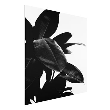 Forex Fine Art Print - Gummibaum Blätter Schwarz Weiß - Quadrat 1:1