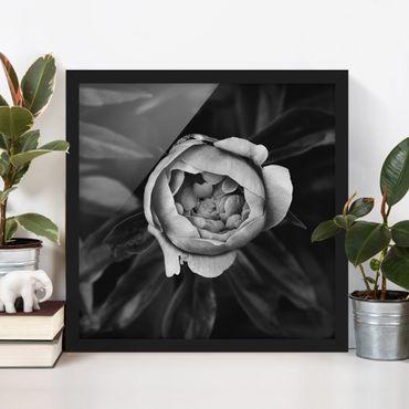 Bild mit Rahmen - Pfingstrosenblüte vor Blättern Schwarz Weiß - Quadrat 1:1
