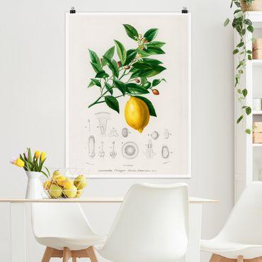 Poster - Botanik Vintage Illustration Zitrone - Hochformat 4:3