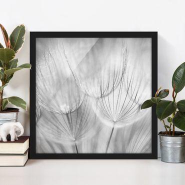 Bild mit Rahmen - Pusteblumen Makroaufnahme in schwarz weiß - Quadrat 1:1