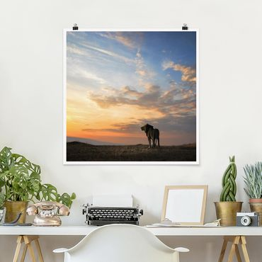 Poster - Löwe im Sonnenuntergang - Quadrat 1:1