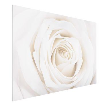 Forexbild - Pretty White Rose