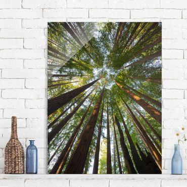Glasbild - Mammutbaum Baumkronen - Hoch 3:4 - Waldbild Glas
