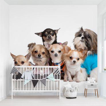 Fototapete Fünf Chihuahuas und ein Shi