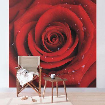 Fototapete Rote Rose mit Wassertropfen