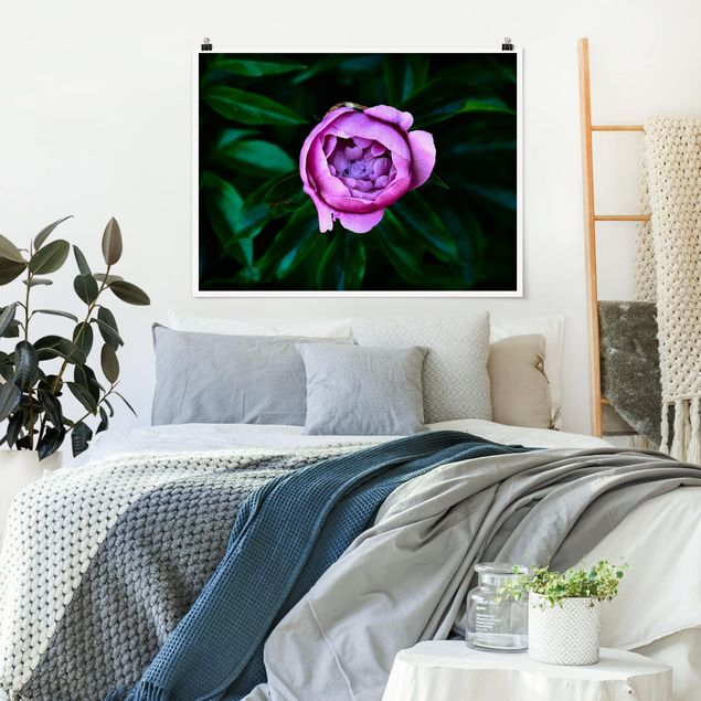 Poster - Lila Pfingstrosenblüte vor Blättern - Querformat 3:4