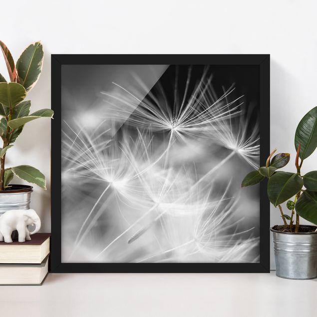 Bild mit Rahmen - Bewegte Pusteblumen Nahaufnahme auf schwarzem Hintergrund - Quadrat 1:1