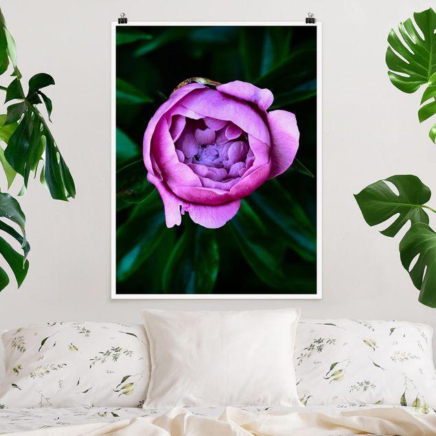 Poster - Lila Pfingstrosenblüte vor Blättern - Hochformat 4:3