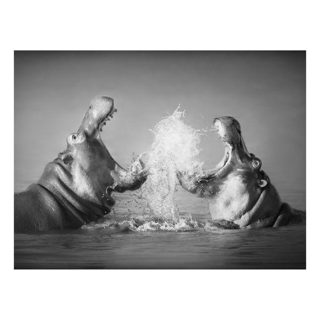 Alu-Dibond Bild - Hippo Fight
