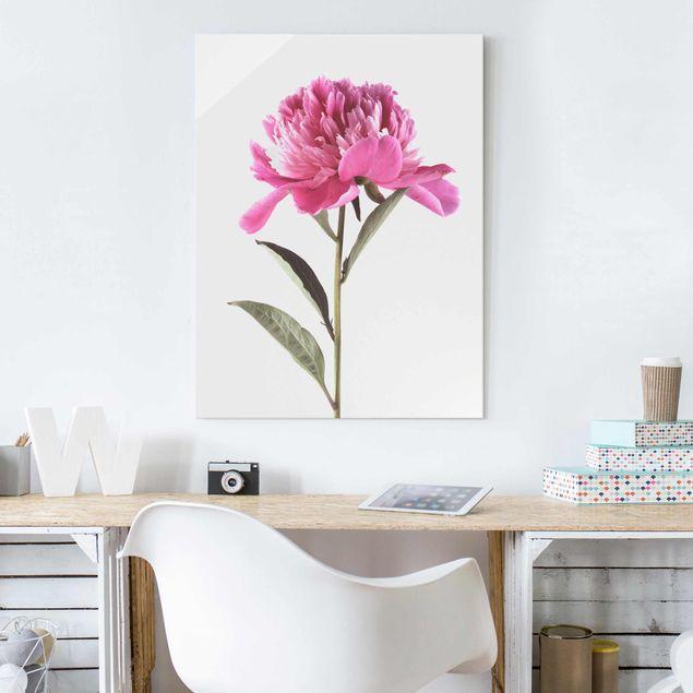 Glasbild - Blühende Pfingstrose Pink auf Weiß - Hochformat 4:3