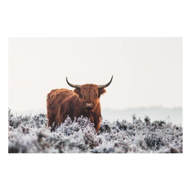 Forex Fine Art Print - Bison in den Highlands - Querformat 2:3