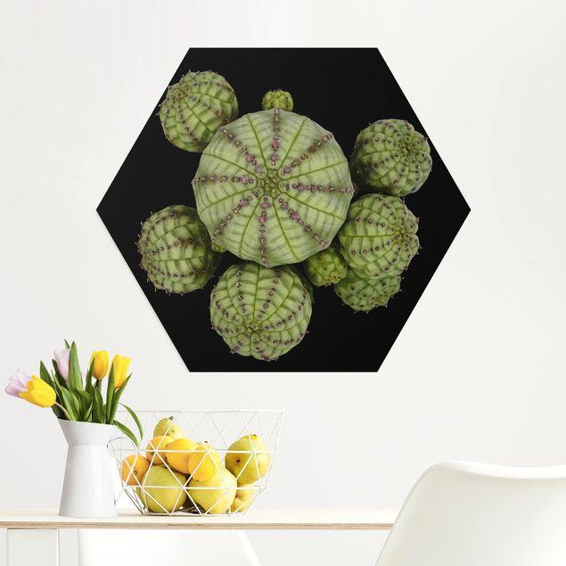 Hexagon Bild Alu-Dibond - Euphorbia - Seeigelwolfsmilch