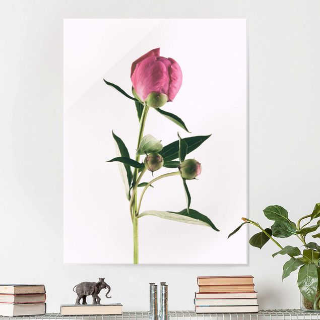 Glasbild - Pfingstrose Pink auf Weiß - Hochformat 4:3