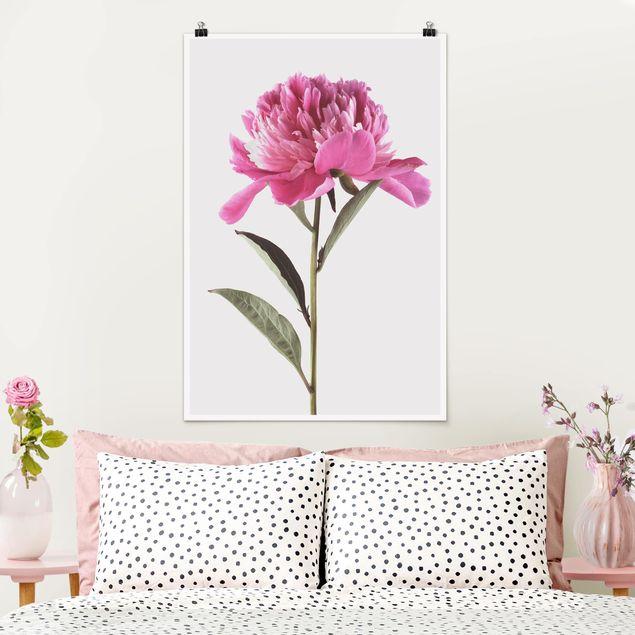 Poster - Blühende Pfingstrose Pink auf Weiß - Hochformat 3:2
