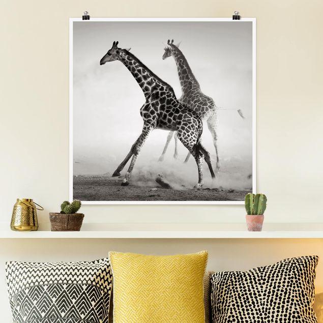 Poster - Giraffenjagd - Quadrat 1:1