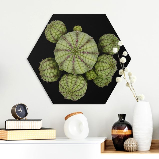 Hexagon Bild Forex - Euphorbia - Seeigelwolfsmilch