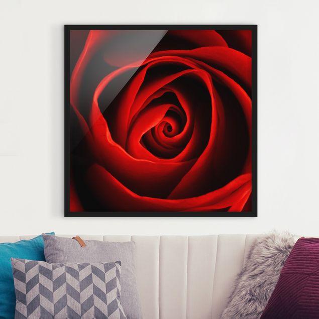 Bild mit Rahmen - Liebliche Rose - Quadrat 1:1