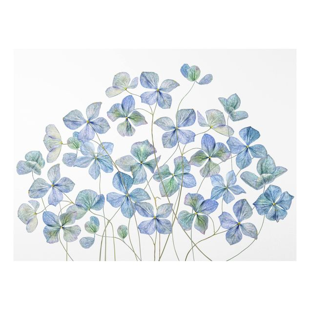 Forex Fine Art Print - Blaue Hortensienblüten - Querformat 3:4