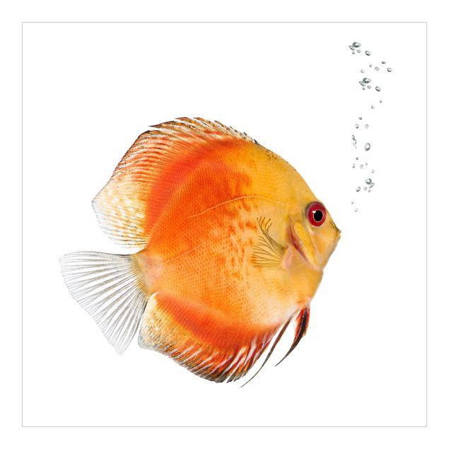 Fototapete Feuerroter Diskusfisch
