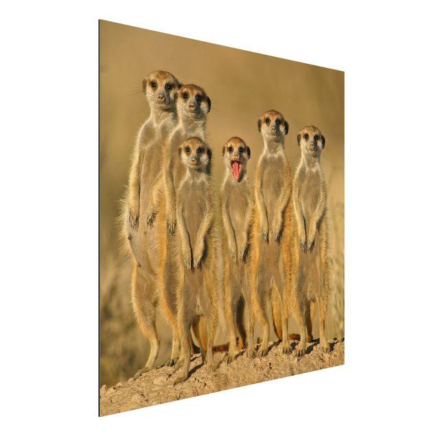 Alu-Dibond Bild - Meerkat Family Panorama