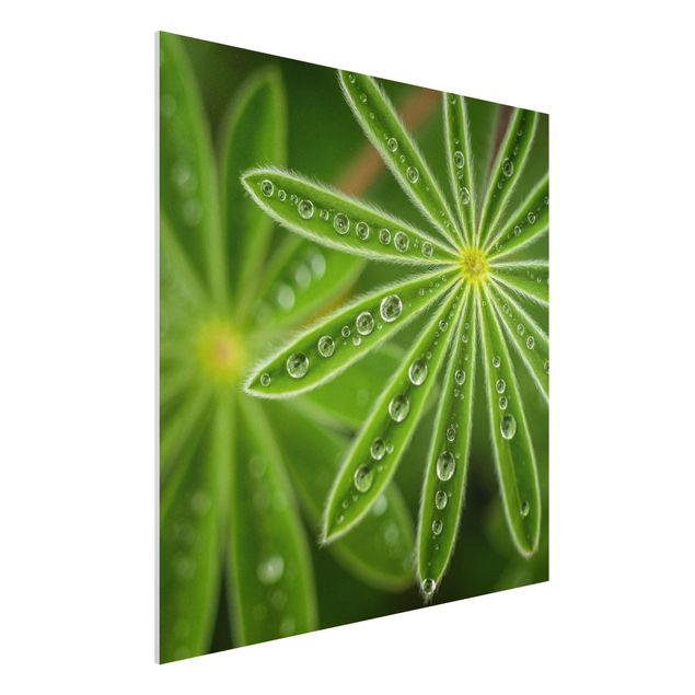Forex Fine Art Print - Morgentau auf Lupinenblättern - Quadrat 1:1