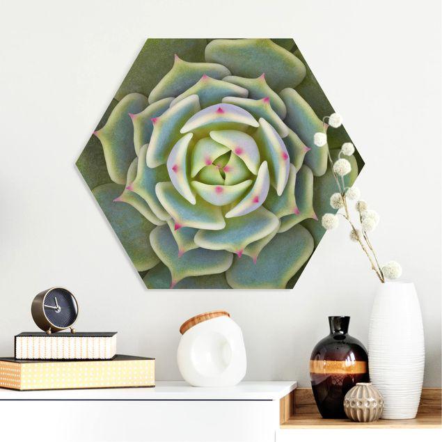 Hexagon Bild Forex - Sukkulente - Echeveria Ben Badis