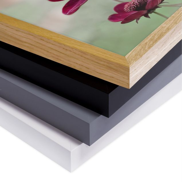 Bild mit Rahmen - Pinke Kosmeen - Quadrat 1:1