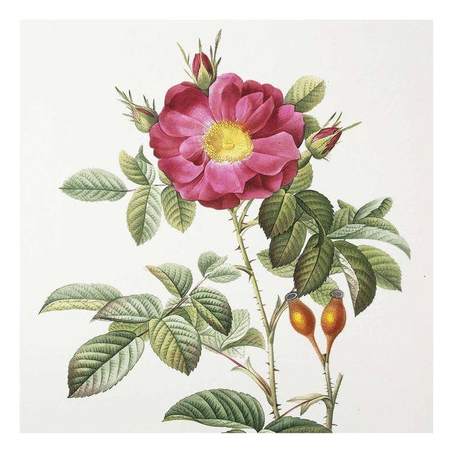 Glasbild - Pierre Joseph Redouté - Portland-Rose - Quadrat 1:1