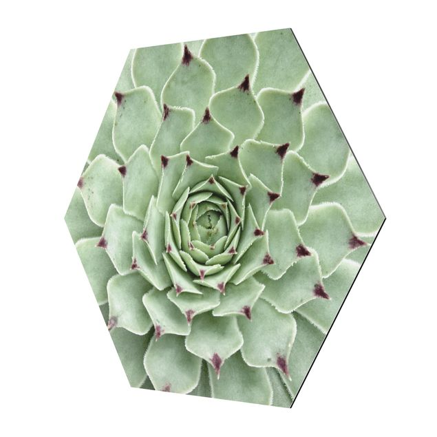 Hexagon Bild Alu-Dibond - Steinrose Jovibarba Hirta
