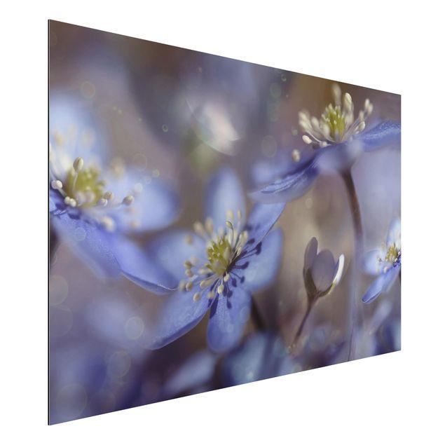 Alu-Dibond Bild - Anemonen in Blau
