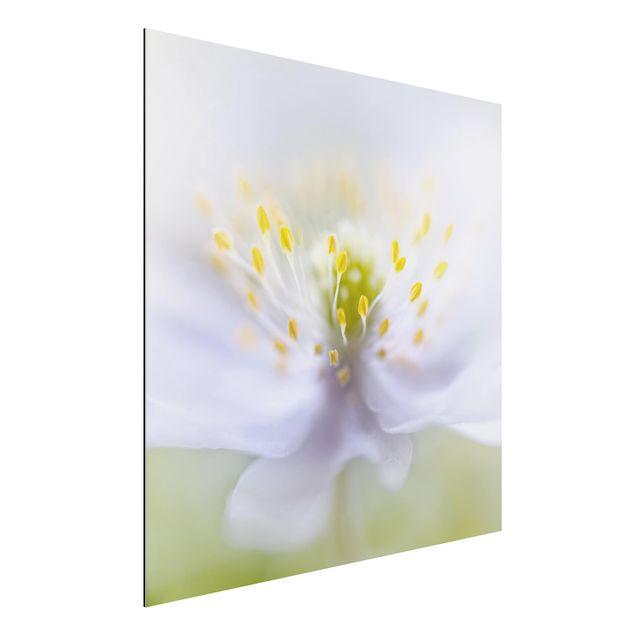Alu-Dibond Bild - Anemonen Schönheit