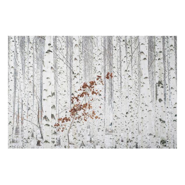 Alu-Dibond Bild - Birken im Herbst