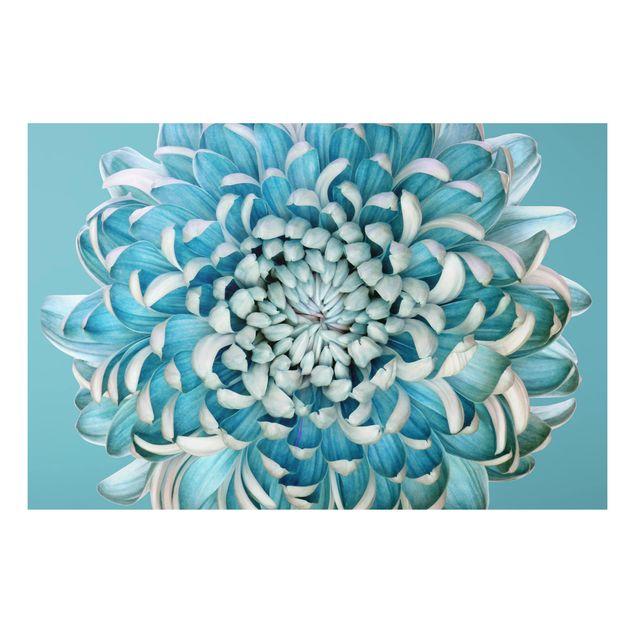 Alu-Dibond Bild - Blaue Chrysantheme