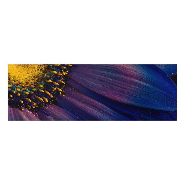 Alu-Dibond Bild - Blaue Gerberablüte