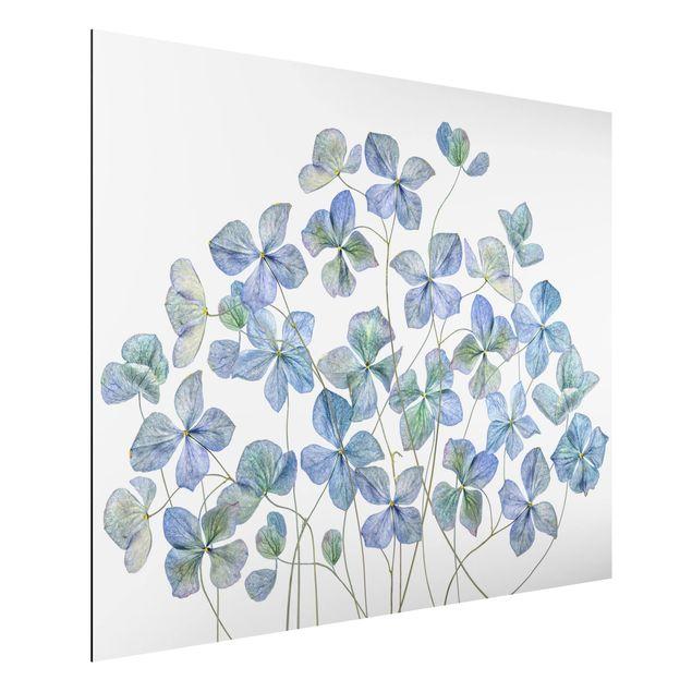 Aluminium Print - Blaue Hortensienblüten - Querformat 3:4