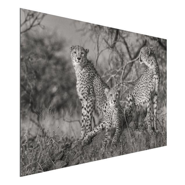 Aluminium Print - Drei Geparden - Querformat 2:3