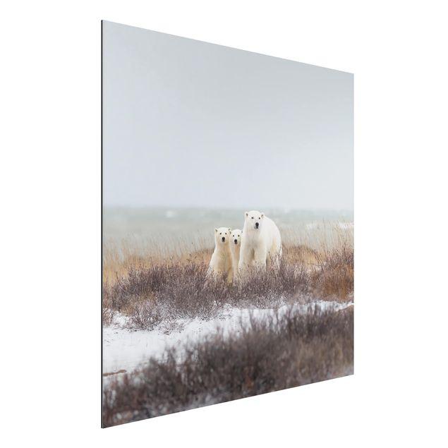 Aluminium Print - Eisbärin und ihre Jungen - Quadrat 1:1